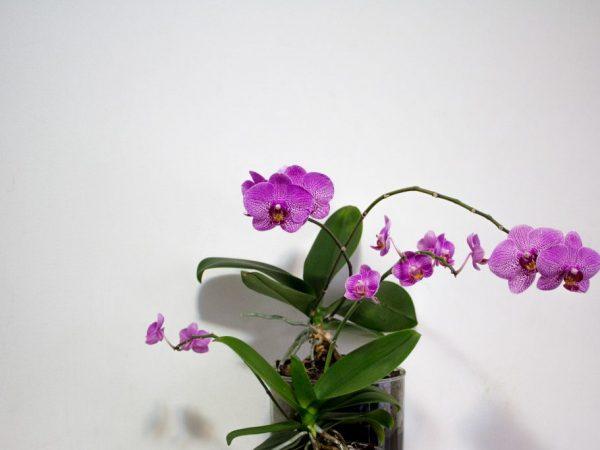 Берегите орхидею от гнили