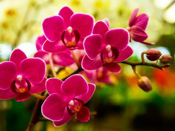orhideya-gniet-600x450.jpg