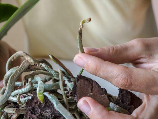 Если орхидея отцвела преждевременно, проверяют состояние корней растения.