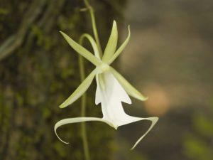 Особенности выращивания орхидеи-призрака