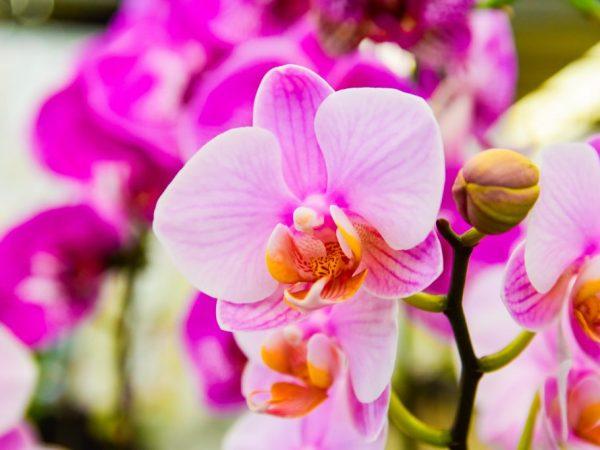 Причины появления липких капель на орхидее