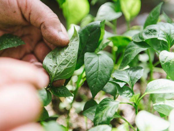 Вредители мешают растениям полноценно расти
