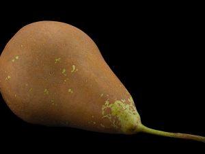 Почему плод груши чернеет