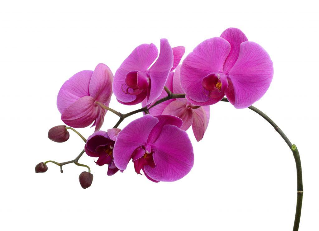 Орхидея сбрасывает цветы почему и что делать