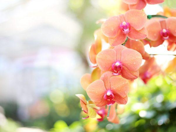 При правильном уходе цветы не опадают