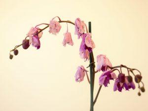 Причины увядания цветов орхидеи