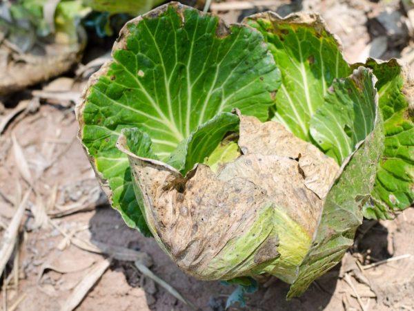 Причины жёлтых листьев у капусты