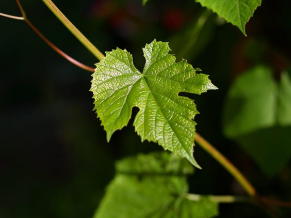 Подкормка винограда весной