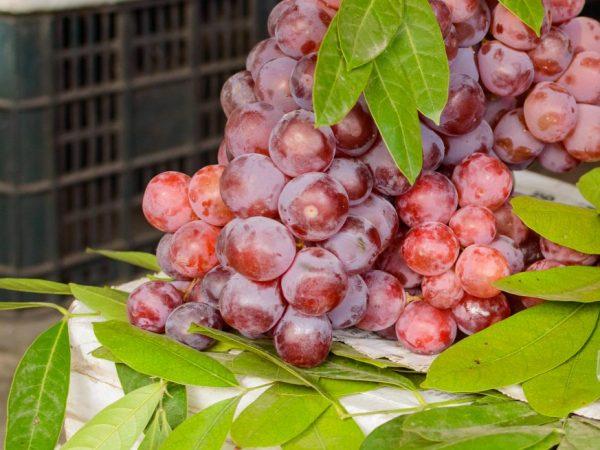 Хороший урожай при правильном выращивании