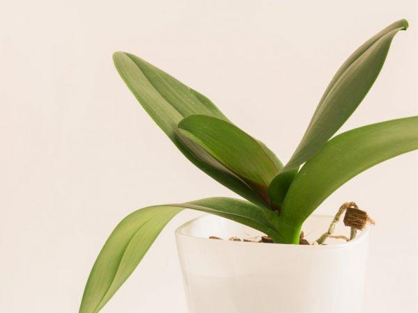 Полив орхидеи после пересадки