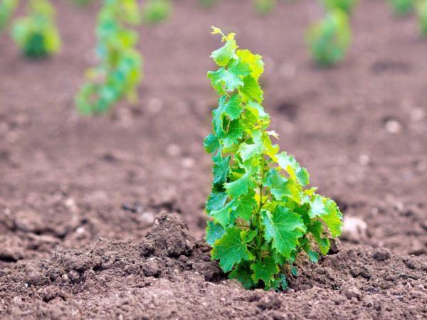 Посадка винограда ранней весной
