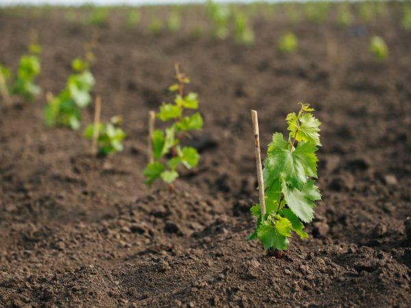 Садите виноград на участке без низин