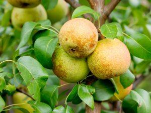 Характеристика груши сорта Повислая