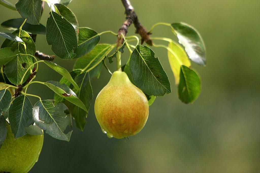 Сорта груш для Ростовской области: фото с названием и описанием