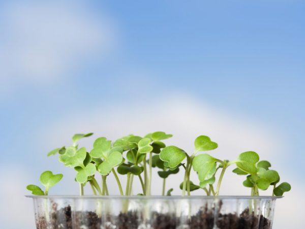 Правила посева капусты на рассаду в Подмосковье