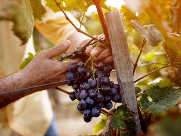 Правила размножения винограда черенками весной
