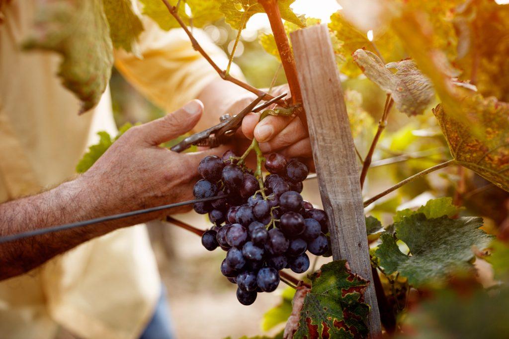 Как правильно разводить виноград черенками