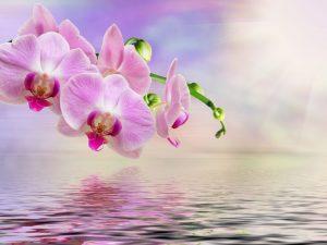 Правила размножения орхидеи черенками