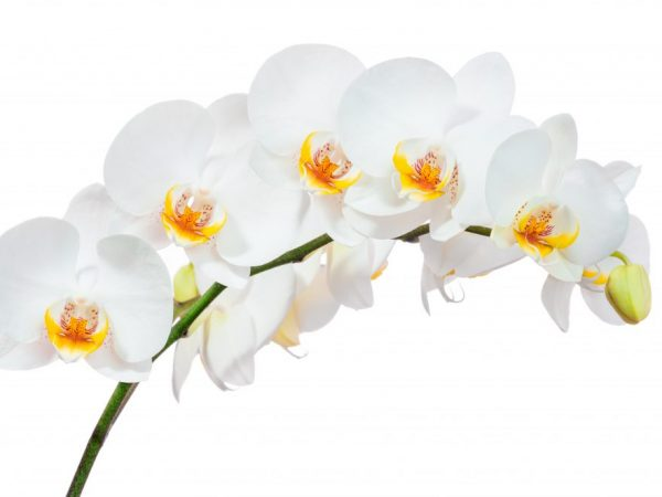 Период цветения орхидеи в домашних условиях