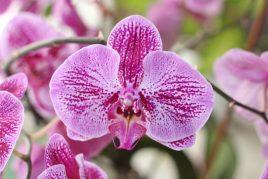 Орхидея Сого
