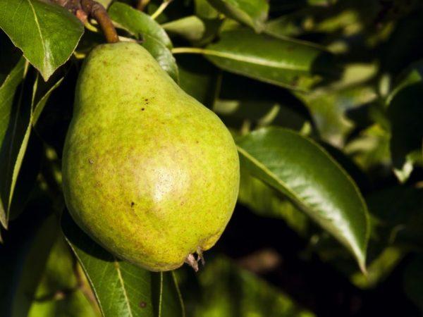 Сорта груш для Краснодарского края