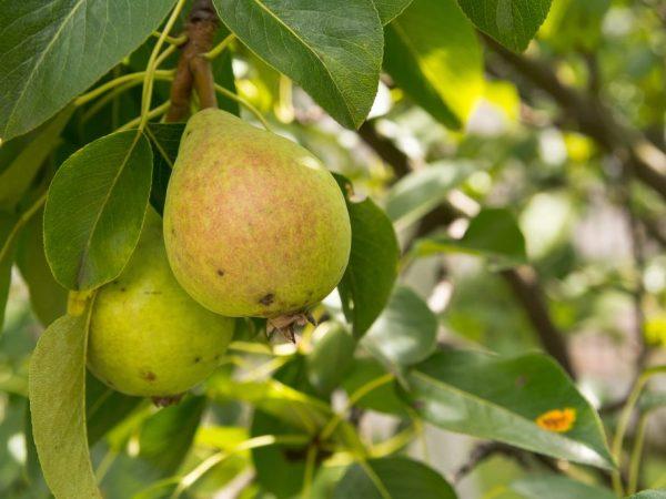 Плоды могут долго храниться