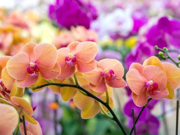 Как бороться с трипсами на орхидеях