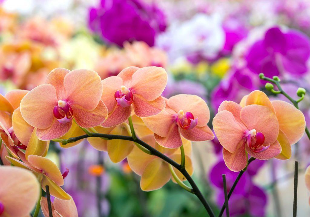 Трипсы на орхидеях: как бороться, фото