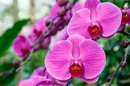 Почему сохнет стебель орхидеи