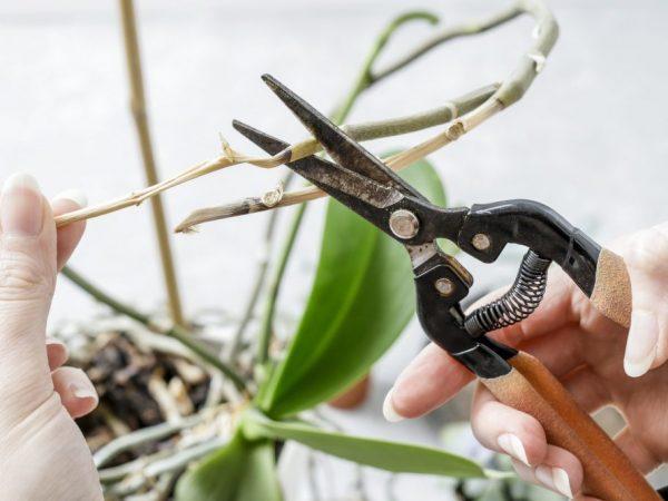 Отцветшую орхидею необходимо обрезать по правилам, чтобы не погубить растение.