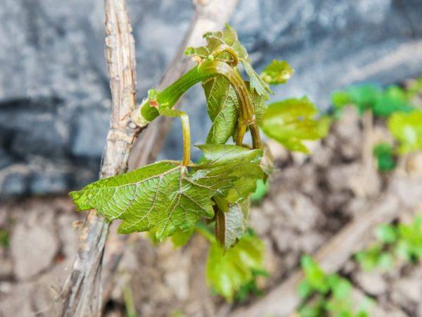 Виноград и весенние заморозки