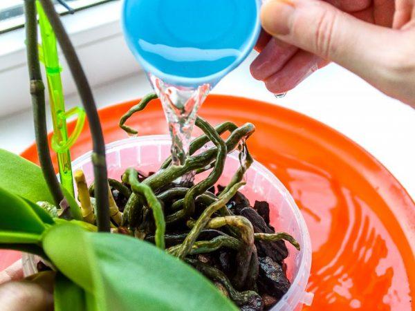 Полив декоративных орхидей перекисью водорода полезен