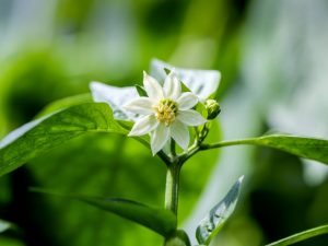 Предотвращаем цветение рассады перцев