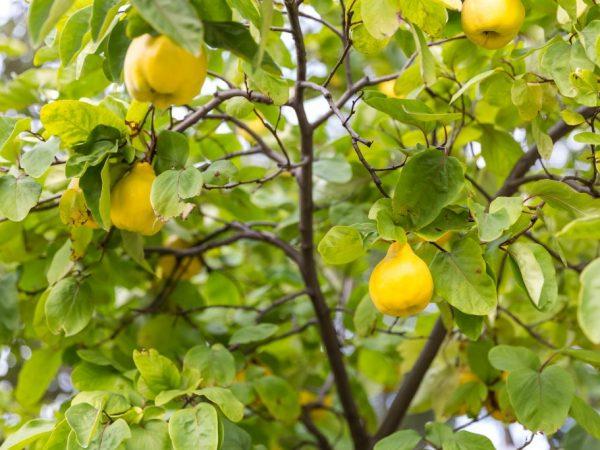 Плоды можно долго хранить