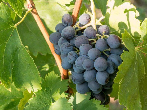 Выращивание винограда Атаман