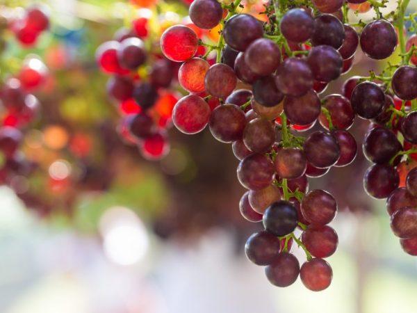 Описание винограда Багровый