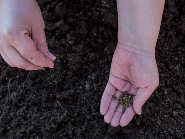 Перед посевом семена нужно замочить