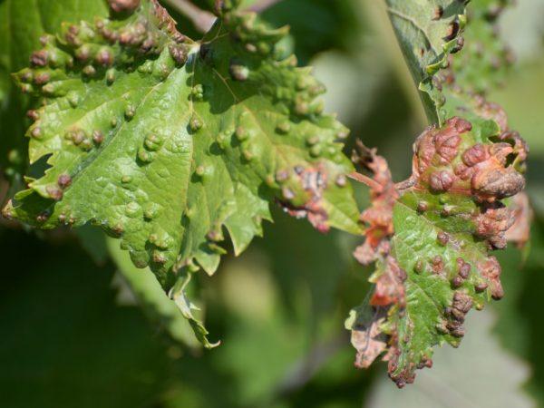 Лечение болезней листьев винограда