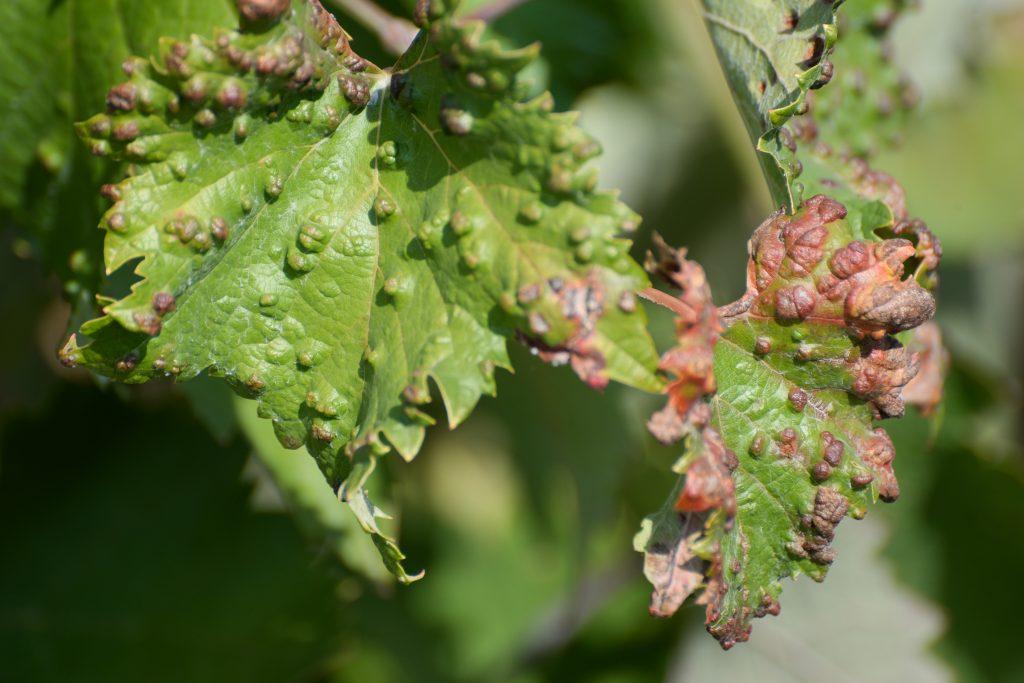 У винограда скручиваются листья