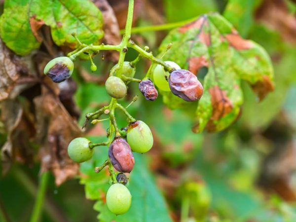 Чернеют ягоды винограда