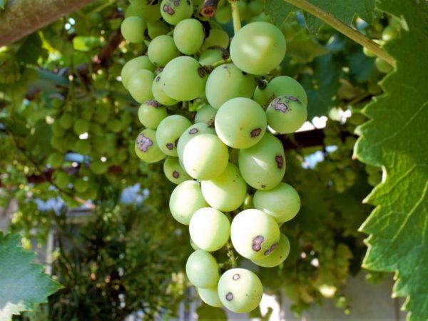 Болезнь может погубить весь виноградник
