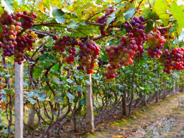 Описание винограда Дюжина