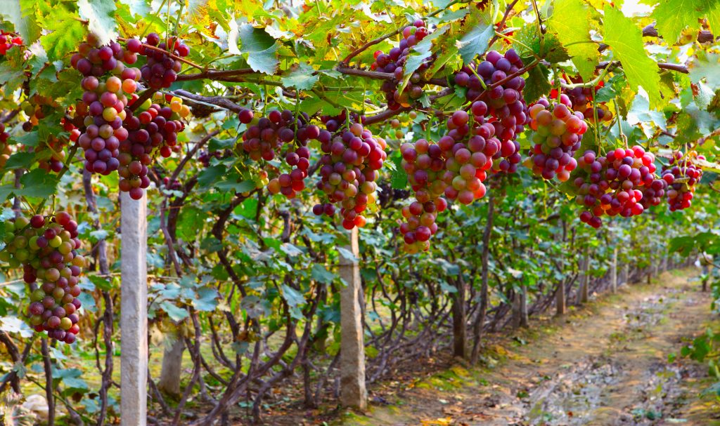 Виноград дюжина описание сорта