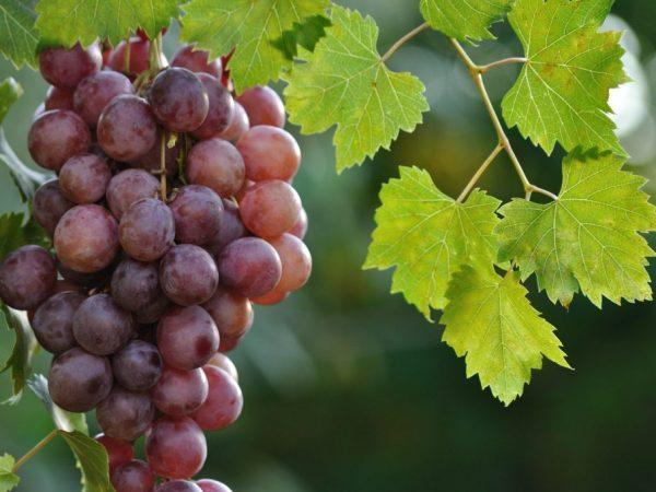 Описание сорта винограда Фараон