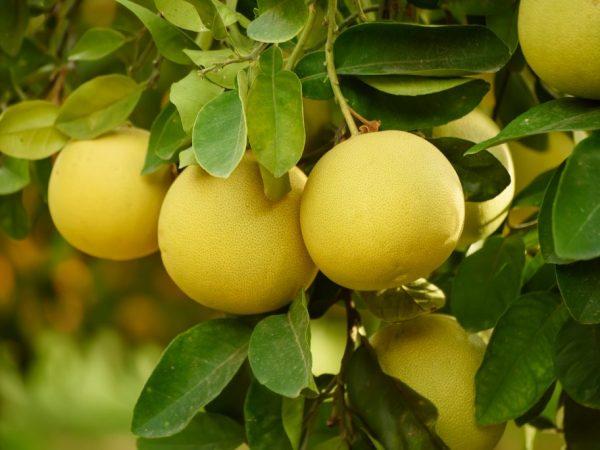 Происхождение грейпфрута