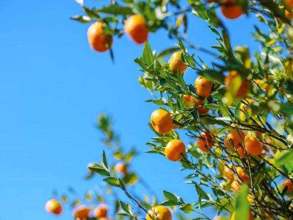 Дерево может расти и плодоносить в течении 70 лет