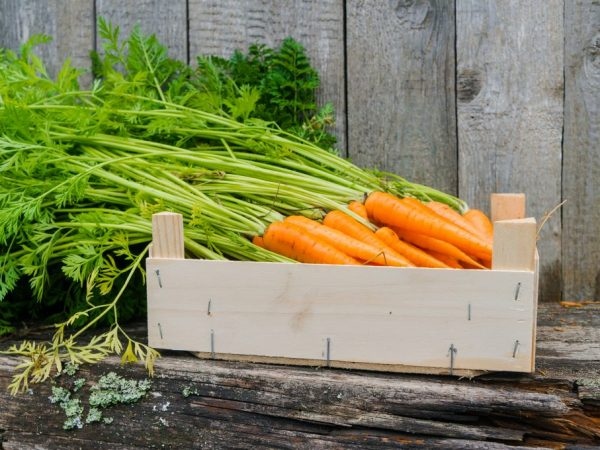 Способы хранения моркови на зиму