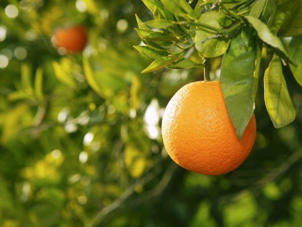 Апельсин содержит много полезных веществ