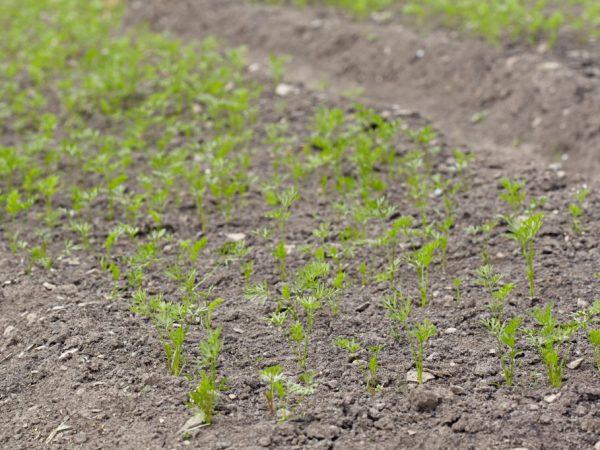 Хорошо всходят семена при теплой погоде