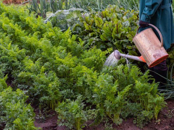 Полем и поливаем морковь